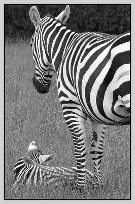 ...zebras in black and white...
