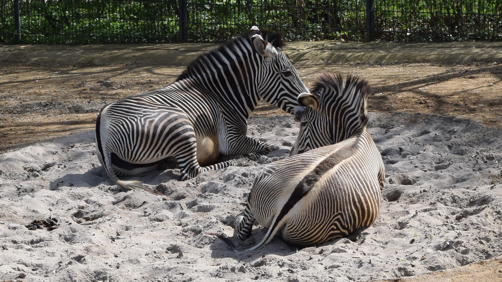 Zebras in der Wilhelma