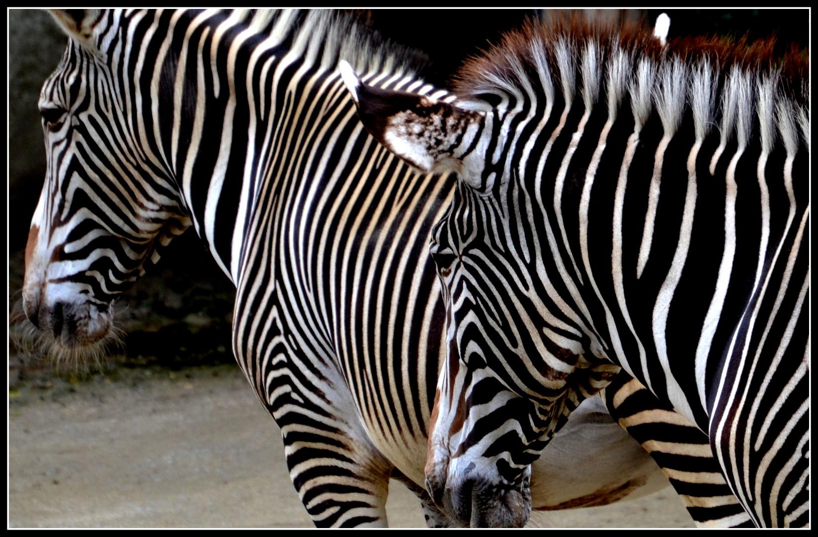 Zebras in der Wilhelma in Stuttgart