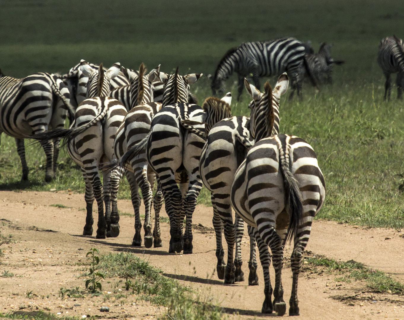 Zebras in Reihe