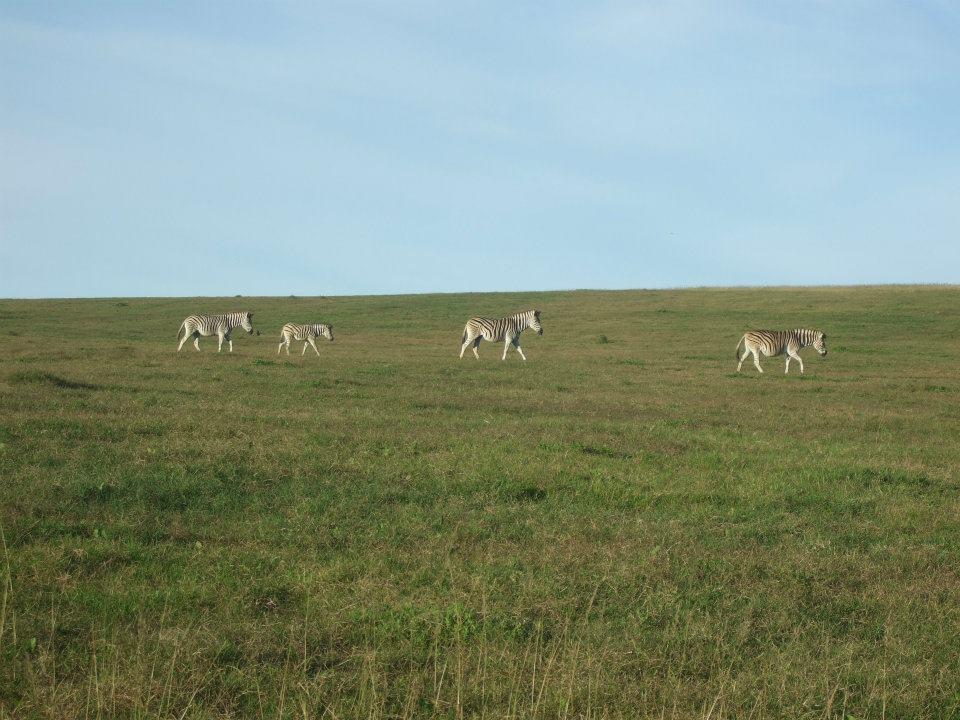 Zebras in Südafrika