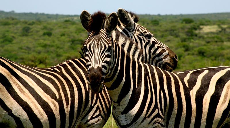 Zebras Krügerpark