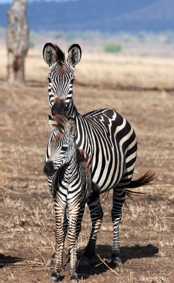 Zebras, Mikumi Nationalpark, Tansania