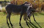 Zebras schauen Dich an...