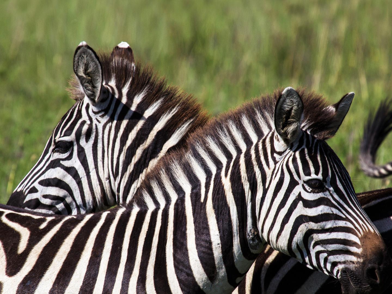 Zebras sichern