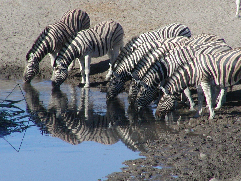 Zebras stillen ihren Durst