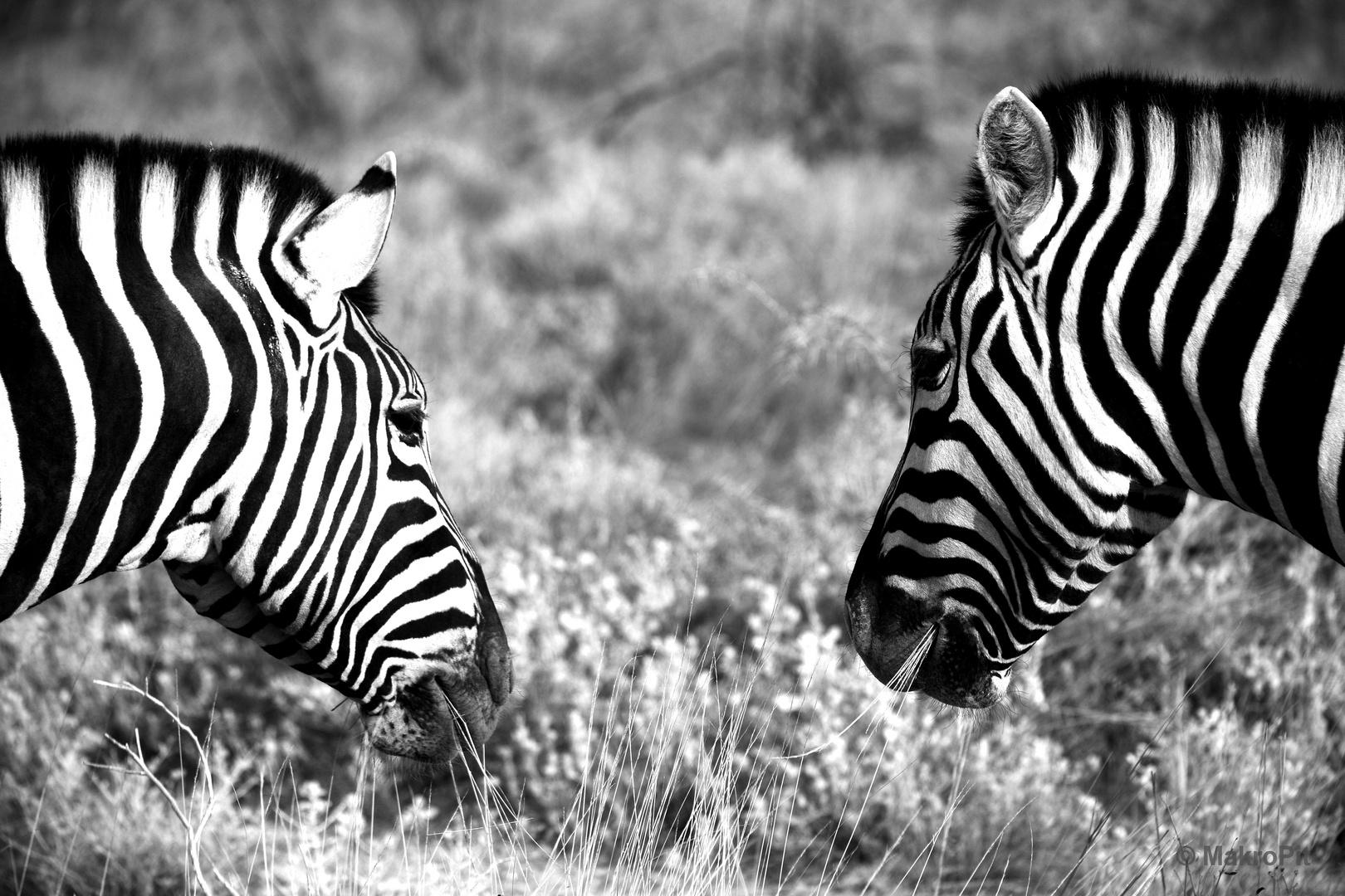 Zebras Streifen