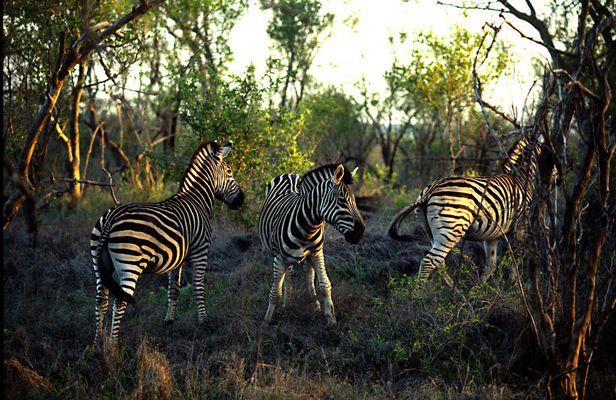 Zebras - Südafrika