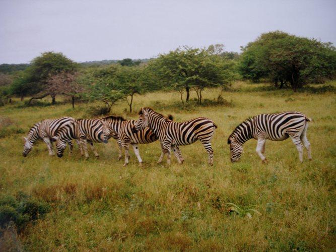 """"""" Zebras """" Südafrika Safari * 2 *"""