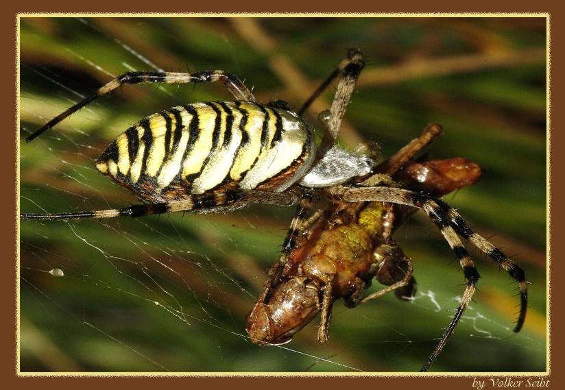 Zebraspinne mit Beute