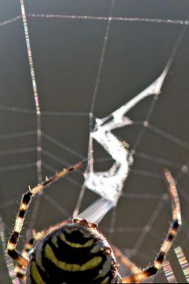 Zebraspinne spinnt ihr Zickzack-Band