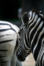 Zebrastreifen im Zoo