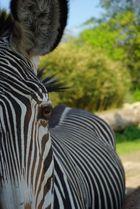 Zebrastute im Zoo Leipzig