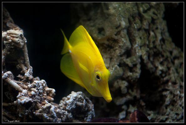 Zebraxoma giallo