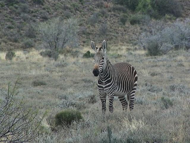Zebre de Montagne, Karoo National Park, Afrique du Sud