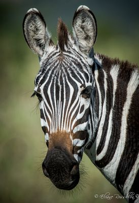 Zèbre en Tanzanie
