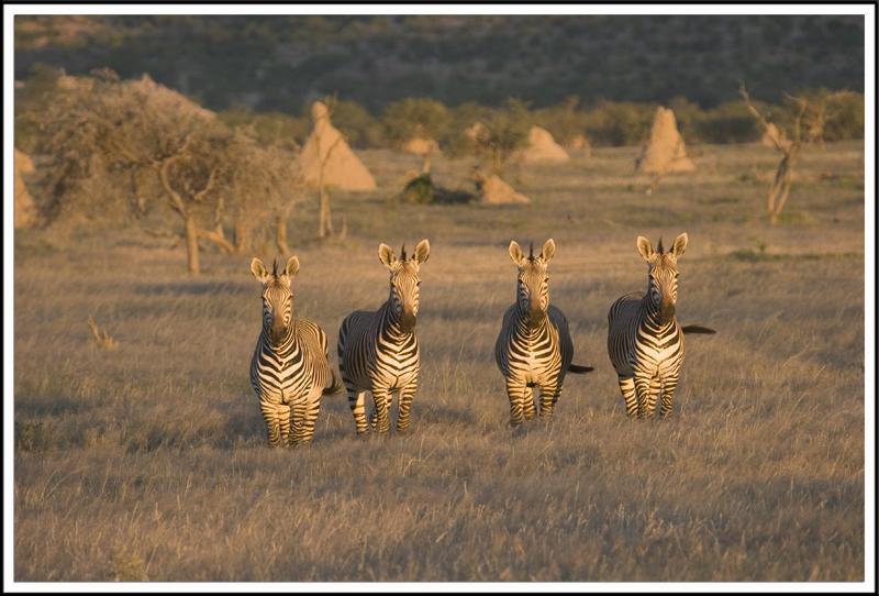 Zebres de Montagne, Namibie