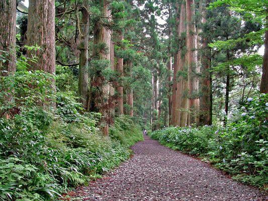 Zedern Allee Hakone