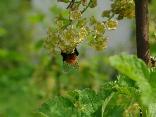 Zeigte mir nur den Hintern diese Biene