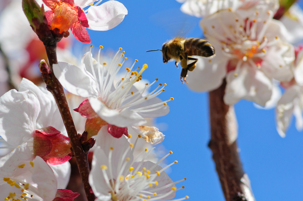 Zeit der Apfelblüte