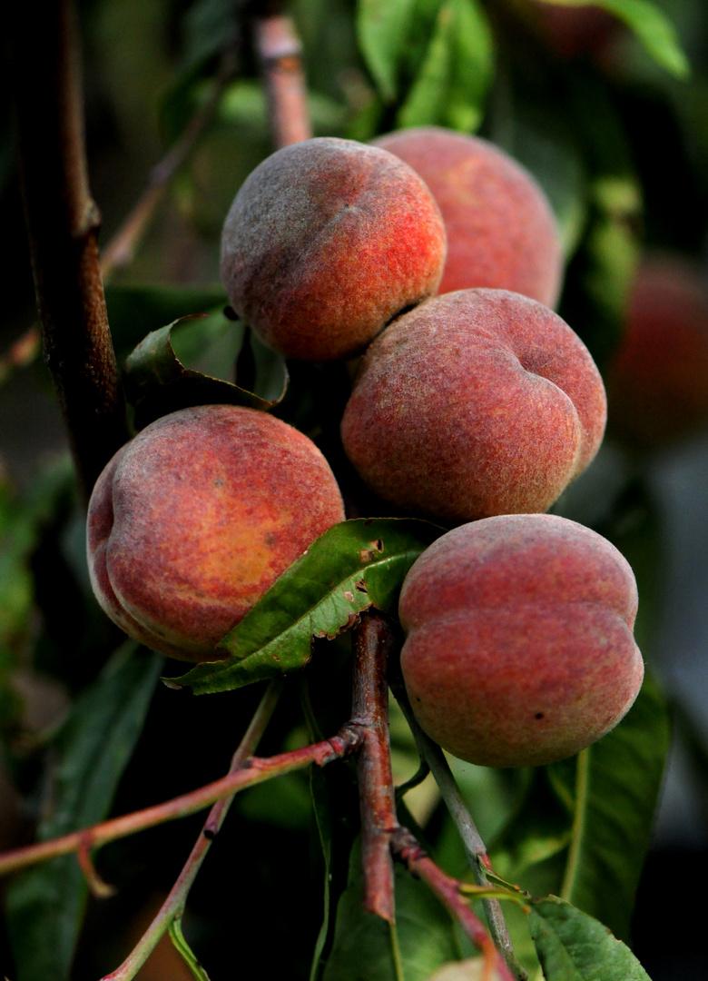 Zeit der Ernte (2) - Pfirsiche