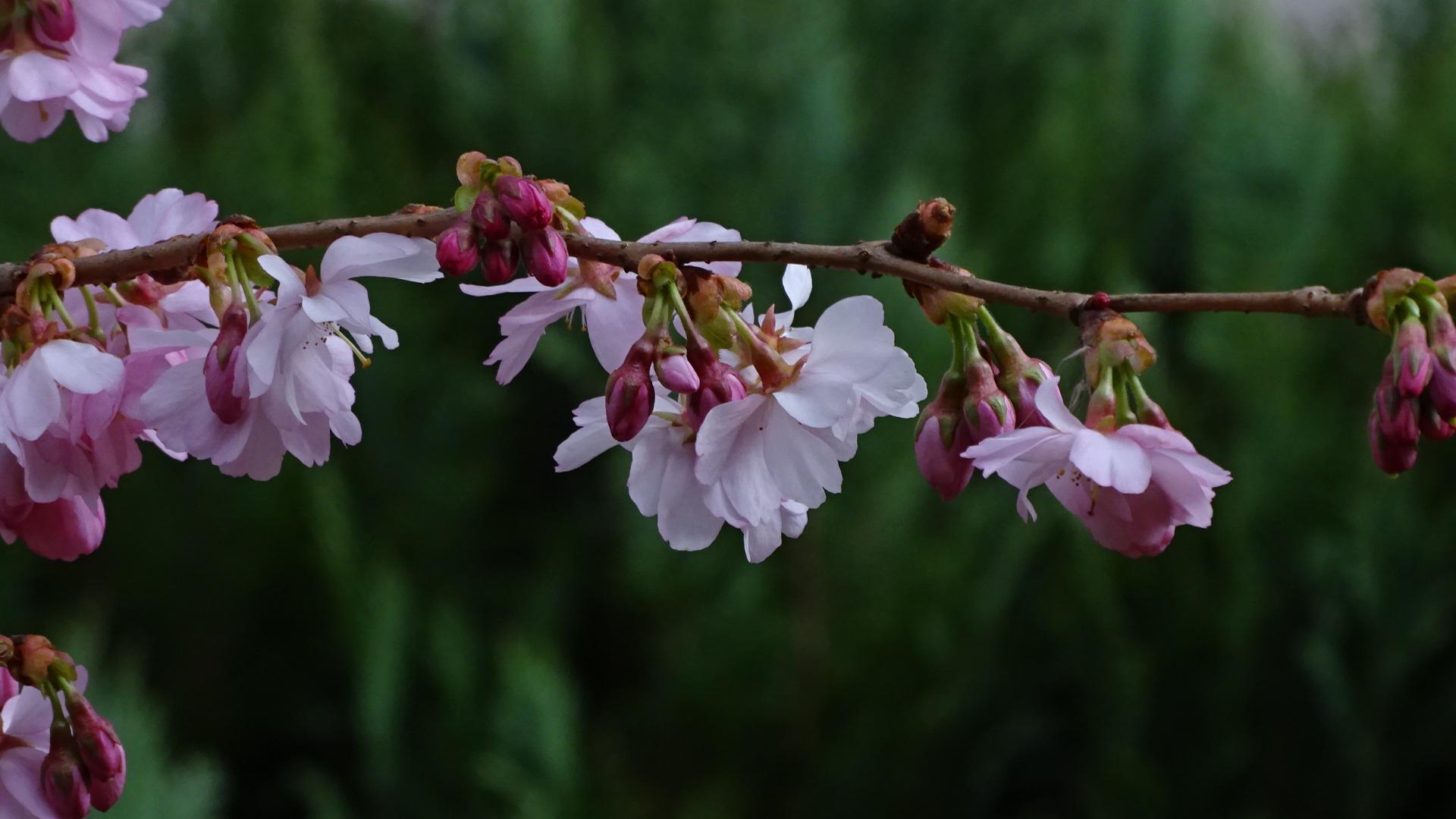 zeit der japanischen kirschbl ten im fr hling 2018 foto bild pflanzen pilze flechten. Black Bedroom Furniture Sets. Home Design Ideas