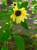 Zeit der Sonnenblumen