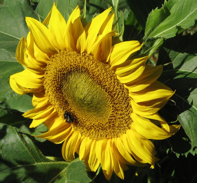 Zeit für Sonnenblumen