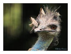 zerzauster Emu