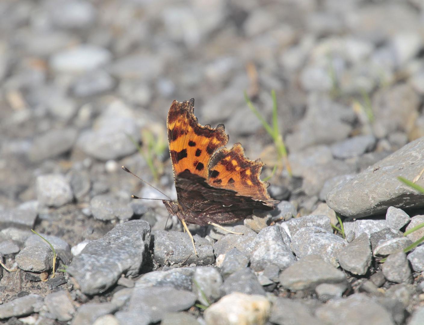 Zerzauster Schmetterling