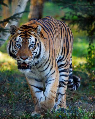 Zeus, tigre de Sibérie