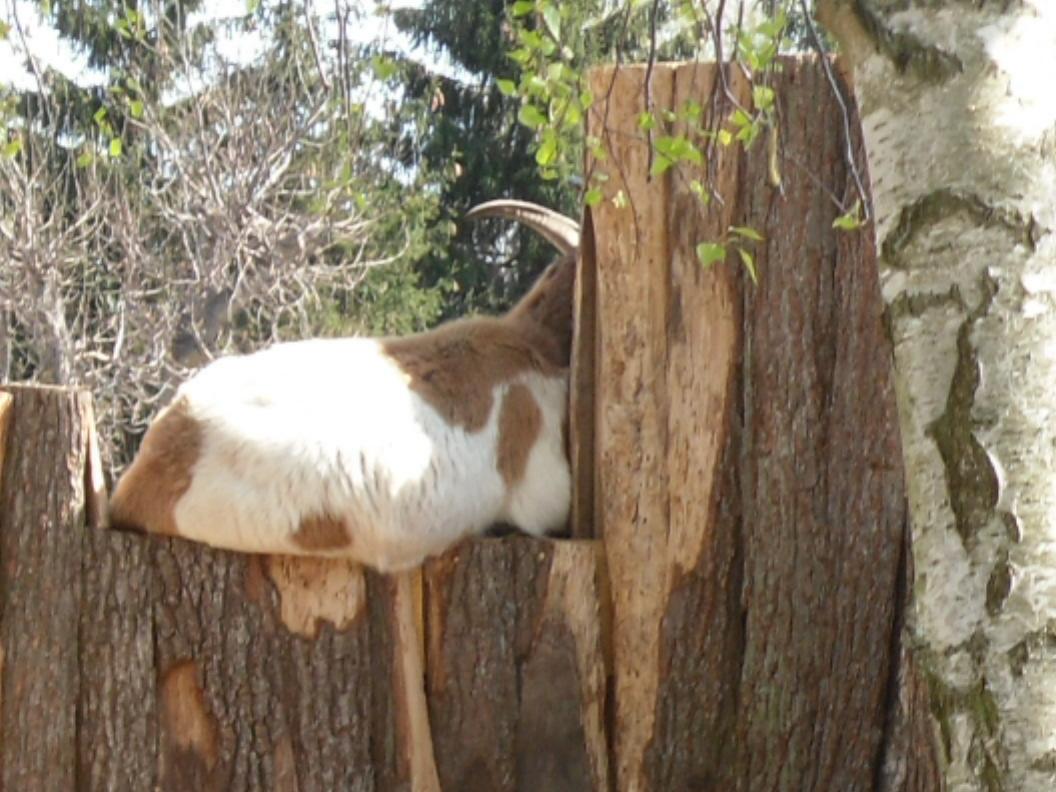 Zicke auf Baum