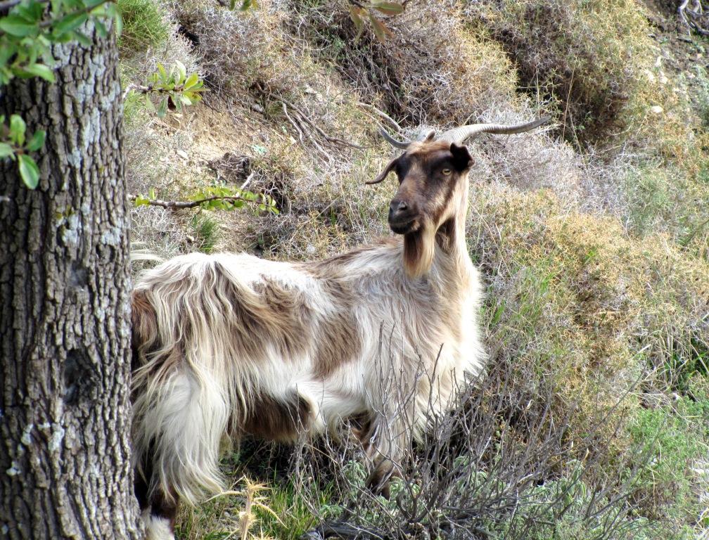 Ziege auf Kos, Griechenland