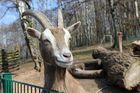 Ziege im Zoo in Neunkirchen