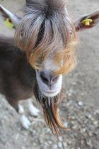 Ziege mit irrer Frisur :)
