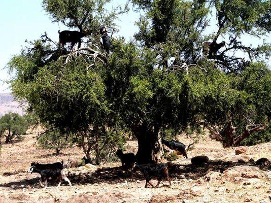 Ziegen auf Baum