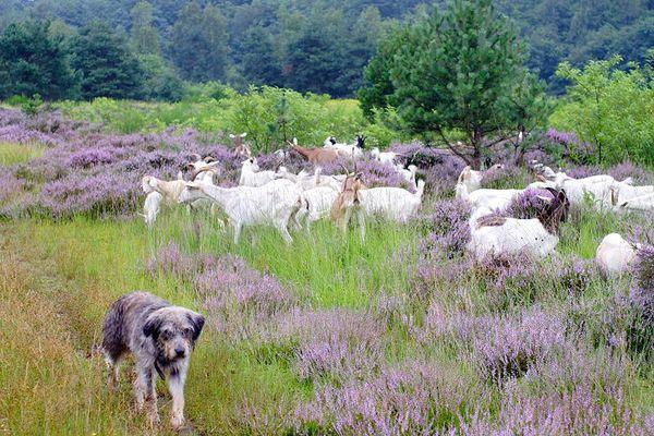 Ziegen erhalten die Heide