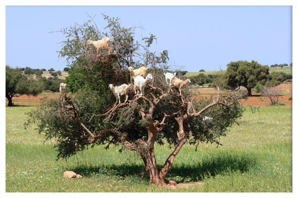 Ziegenbaum in Morocco