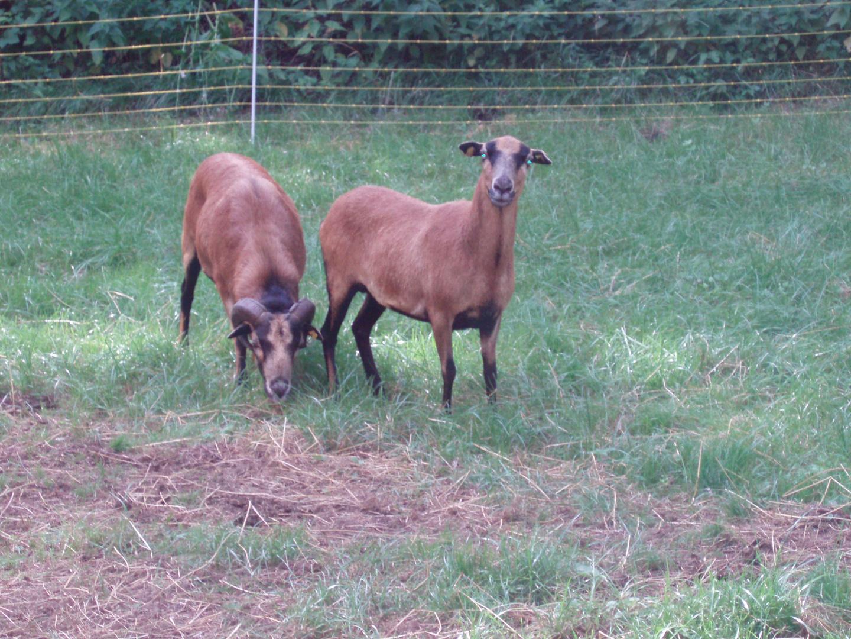 Ziegenpaar