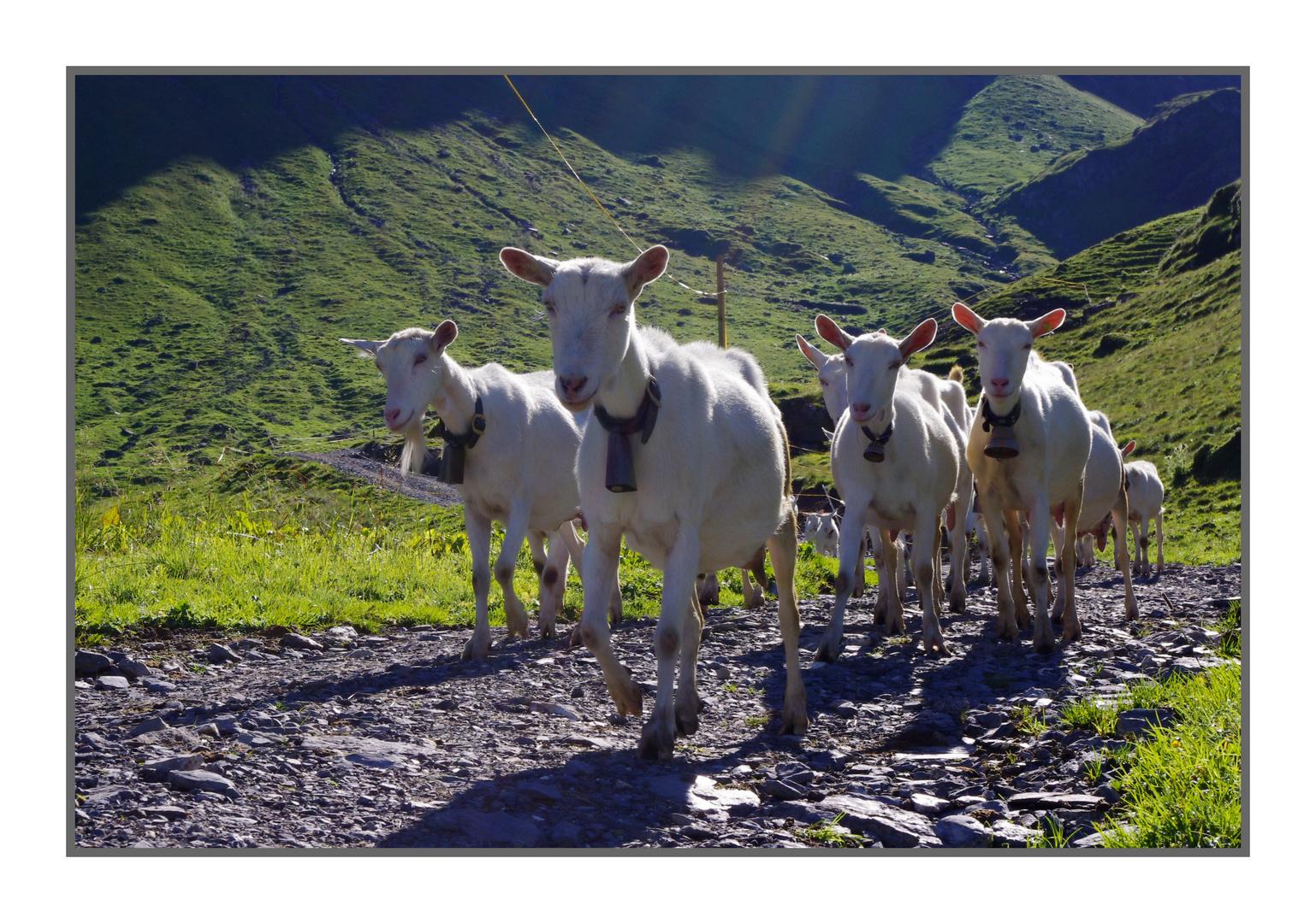 Ziegentruppe auf Spaziergang