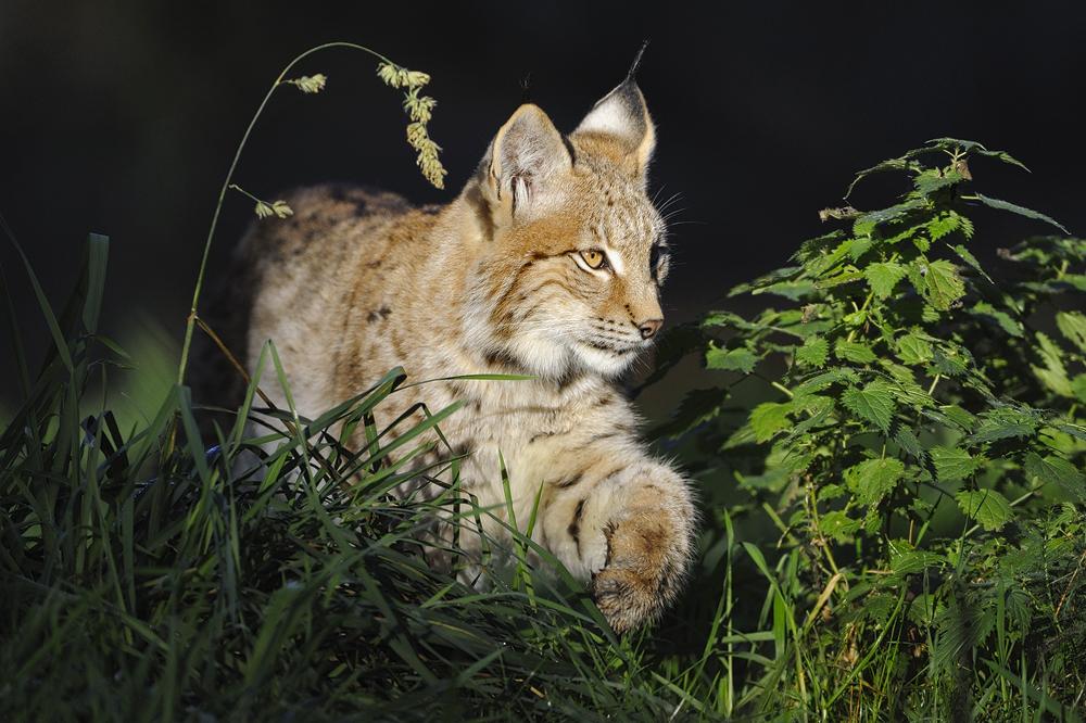 zielsicher... Eurasischer Luchs *Lynx lynx* von wunderbare-Erde.de