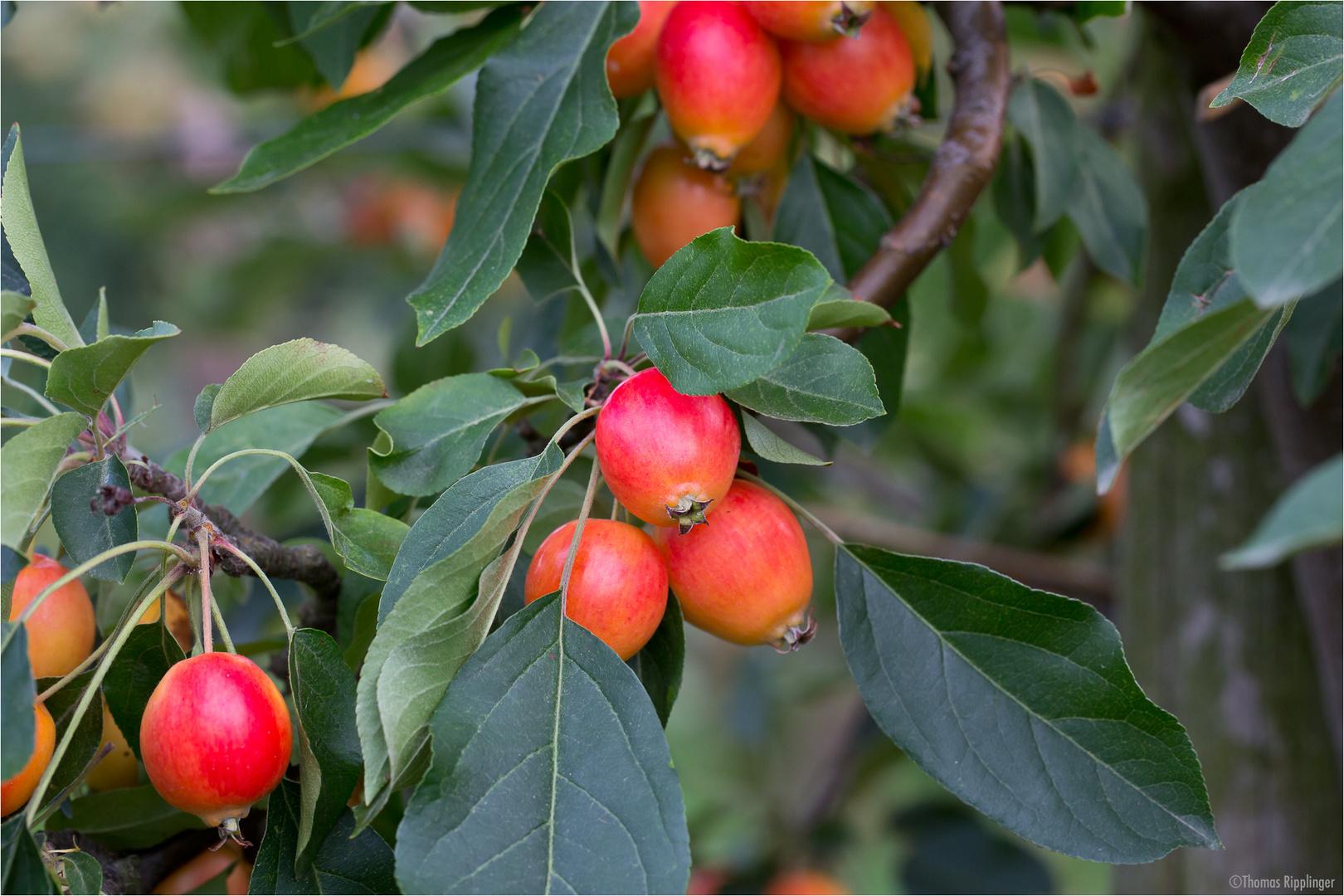 Zier-Apfel (Zierapfel) Malus spec...