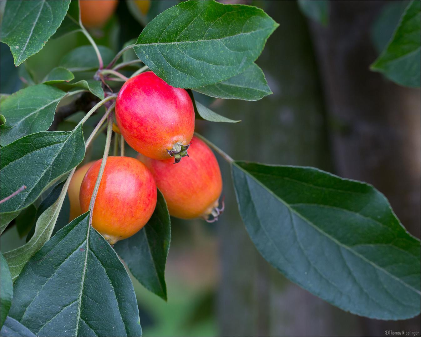Zier-Apfel (Zierapfel) Malus spec.....