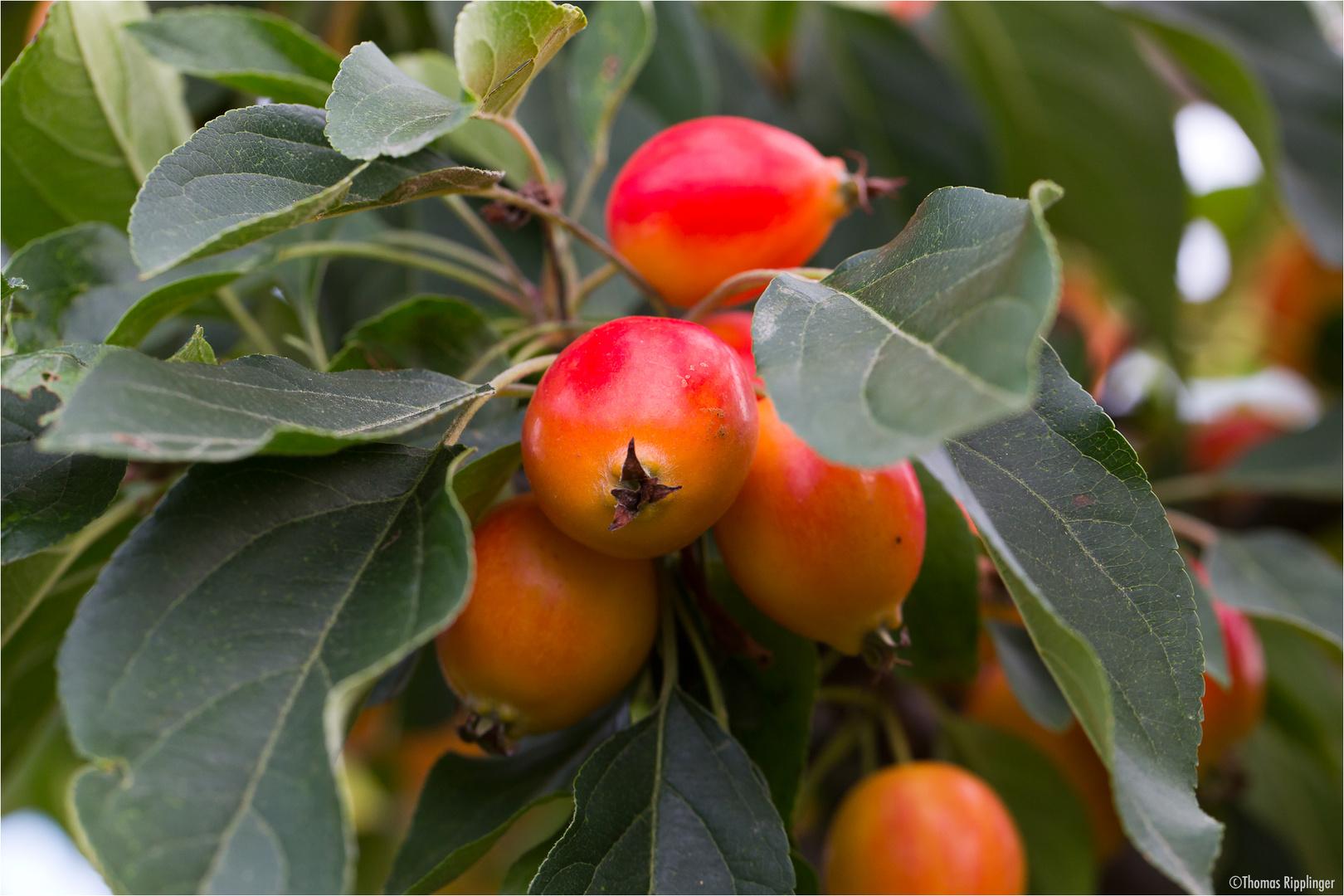 Zier-Apfel (Zierapfel) Malus spec.