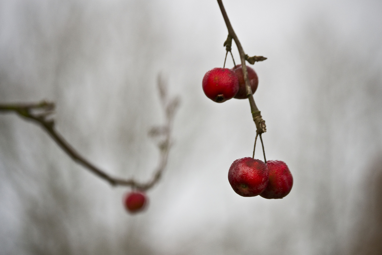 Zieräpfel...