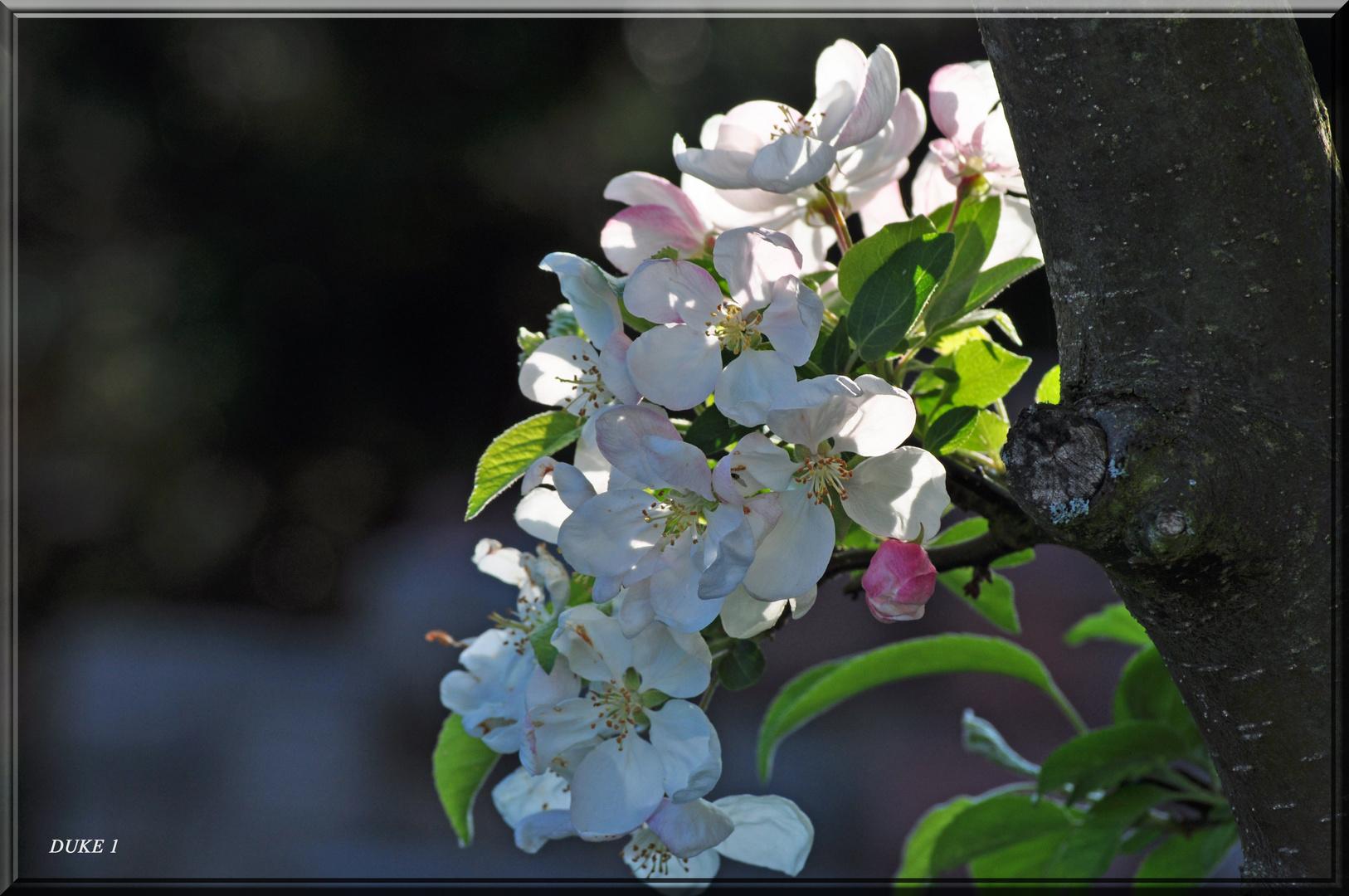 Zierapfelblüte .