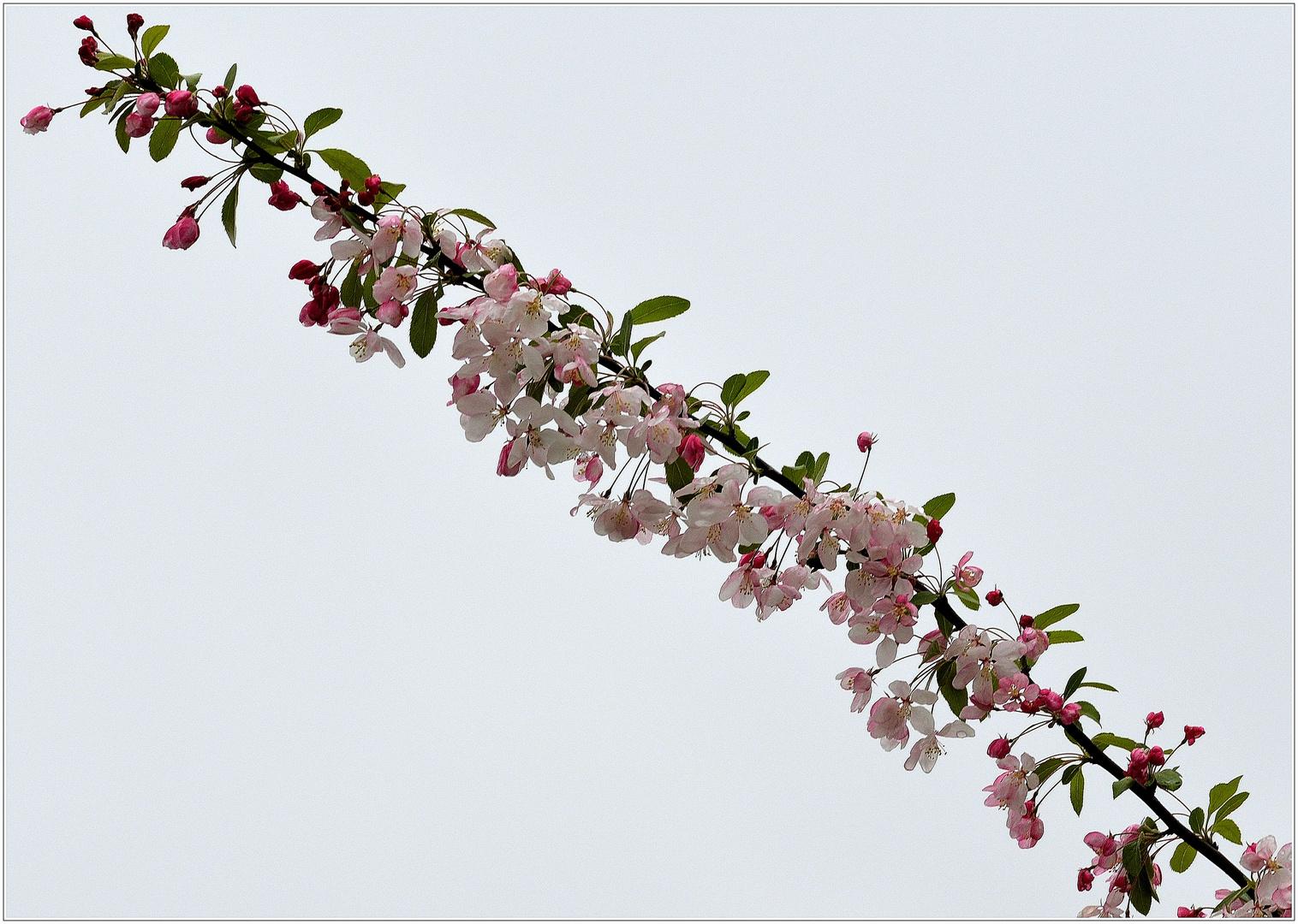 Zierapfelblütendiagonale