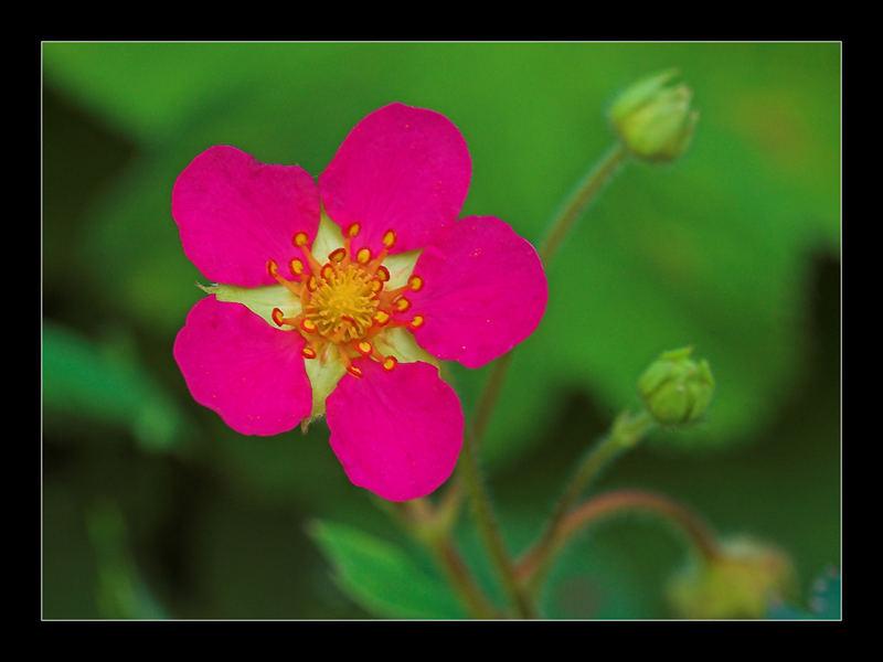 +Ziererdbeerblüte+