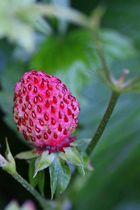 Ziererdbeere