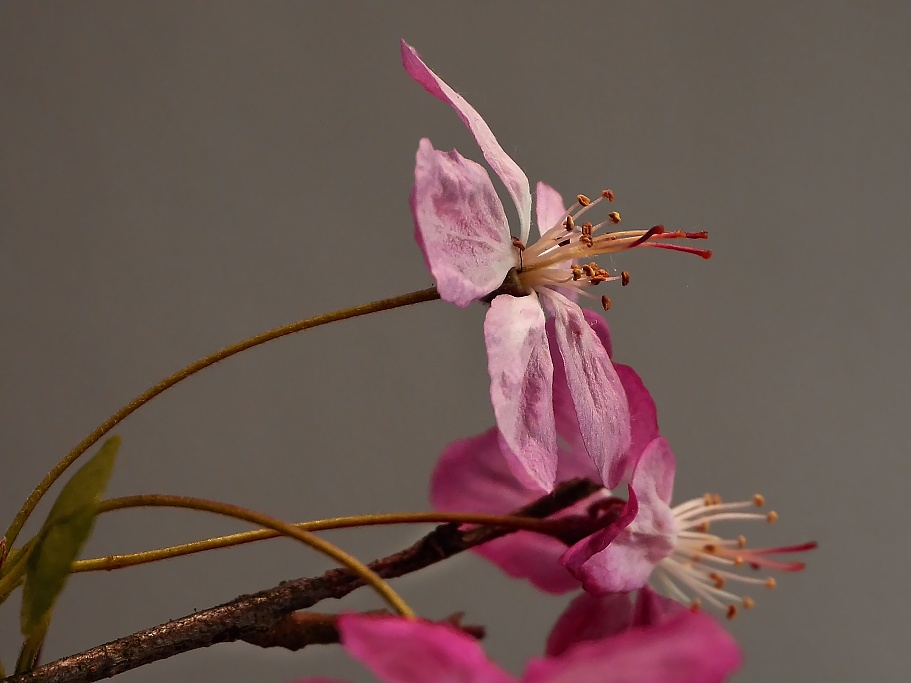 Zierkirschblüte